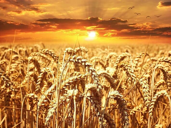 Buğday Ve Buğdayın Yapısı Hakkında Bilgiler