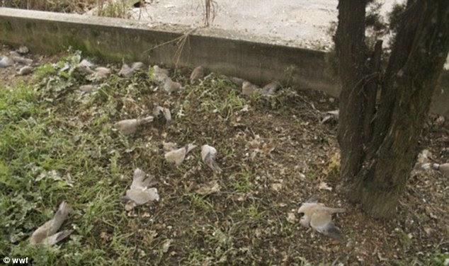 Shock: Los residentes describieron haber visto palomas individuales caen del cielo, antes de que grupos de 10 o 20 comenzó a golpear los techos y los coches