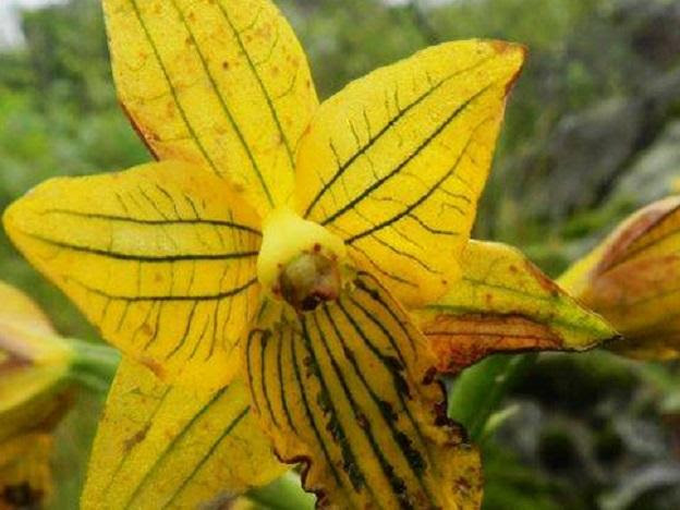 Once thought extinct, the Lima Orchid re-appears after half a century