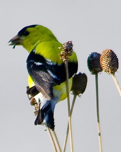Goldfinch on yellow cone flower by pdecell