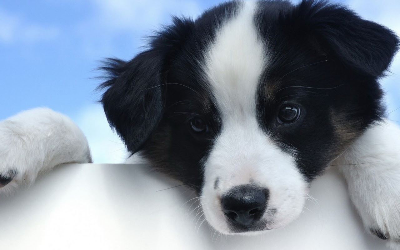 Trends For Cute Black Lab Puppies Wallpaper Wallpaper