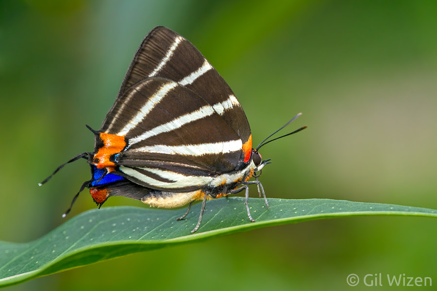 Zebra hairstreak butterfly