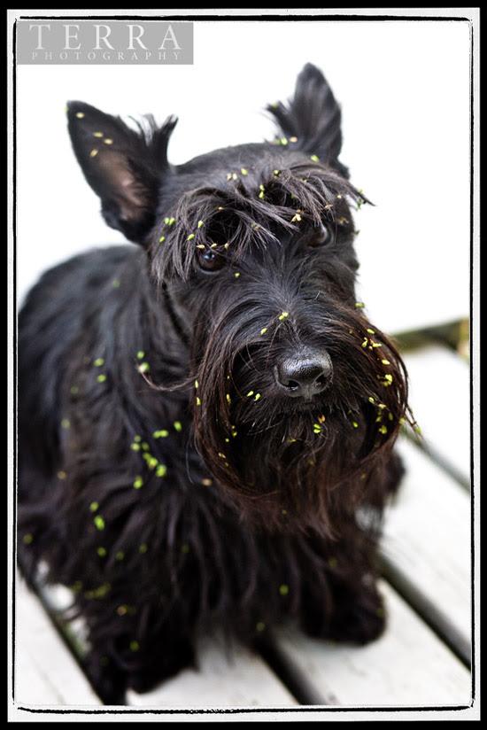 My Naughty Scottie Dog