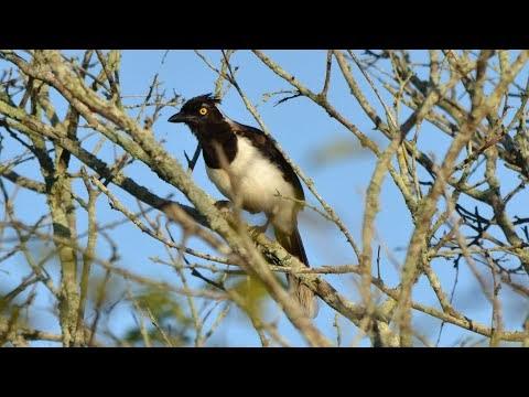 Natureza em destaque: Bando de Cancão cantando na Caatinga