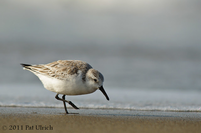Sanderling stepping into Monday - Pat Ulrich Wildlife Photography