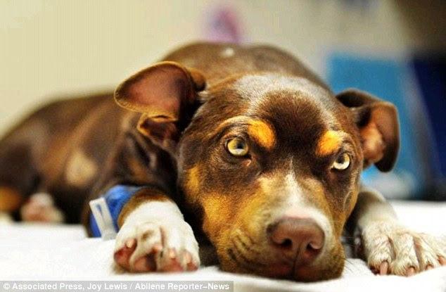 Brave: Taz, um filhote de cachorro de 14 semanas de idade do sexo feminino, se recupera na Clínica Veterinária Cidade chave depois de sobreviver ao fim de semana stabbing