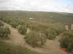 Ladang Pokok Zaitun, Andalusia, Spain