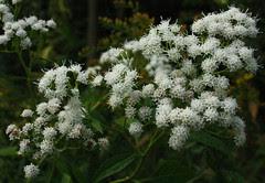 White Snakeroot blossoms