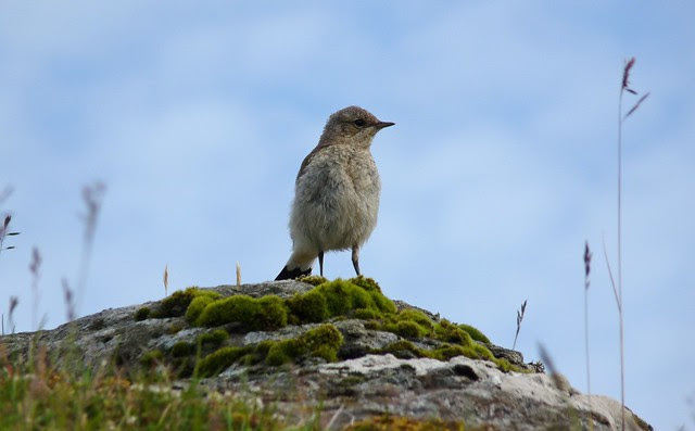 24517 - Wheatear, Isle of Mull