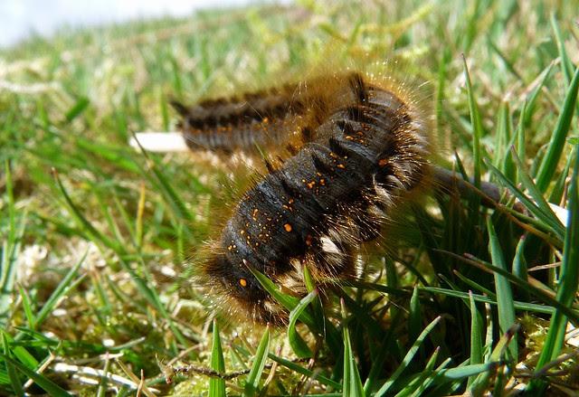24132 - Drinker Moth Caterpillar (Euthrix potatoria)