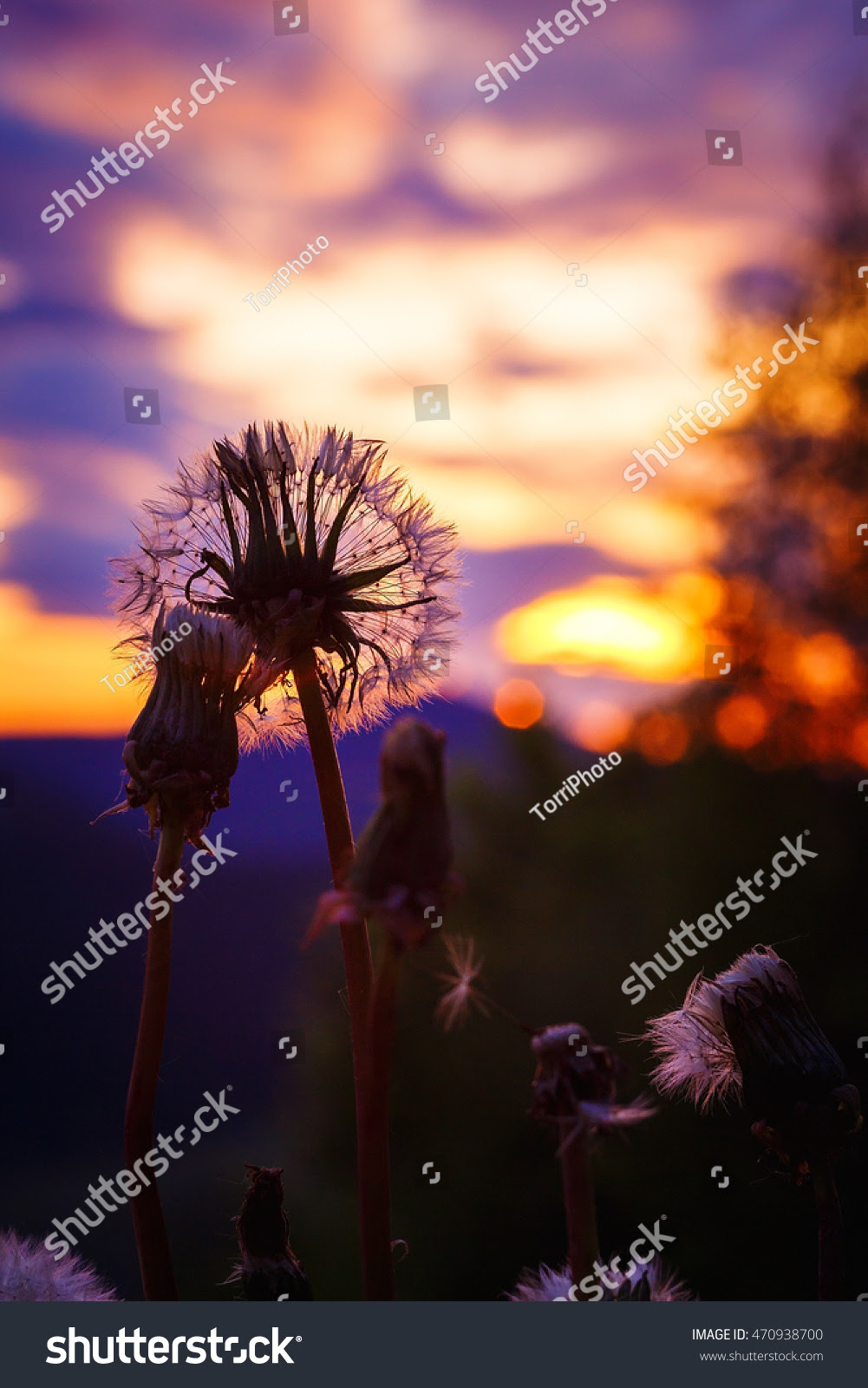 abstract, aged, background, ball, bloom, blossom, blowball, close, closeup, cloud, dandelion, dawn, dramatic, dusk, evening, feathery, flare, flora, floral, flowers, fluff, fluffy, focus, head, light, meadow, natural, nature, outdoor, park, pink, plant, purple, season, seed, seedling, shallow, silhouette, sky, spring, summer, sun, sundown, sunlight, sunny, sunrise, sunset, time, wildflower, yellow