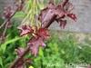 Jamaica/Hibiscus Tea 1