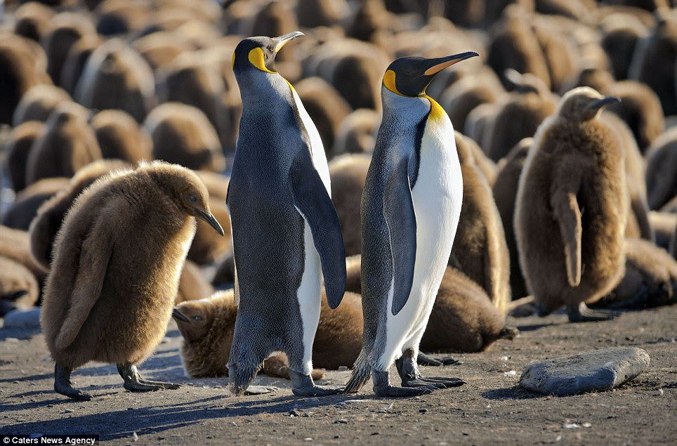 Where are you: A couple of adults on the edge of the group of chicks surveys the area after returning from the sea