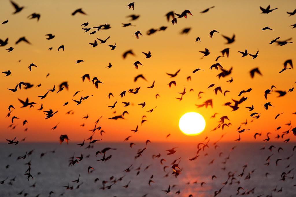 Murmuration at Sunset