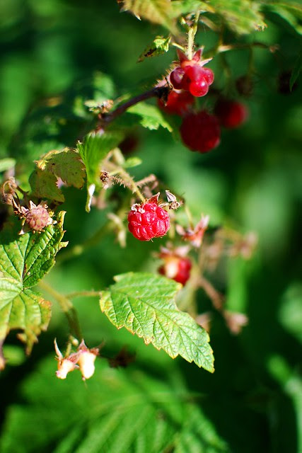 A close-up of wild raspberries.