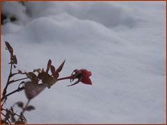 01 rosebuds in snow