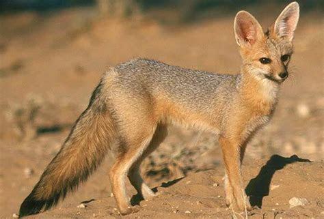 Cape Fox   South Africa Mammal Guide
