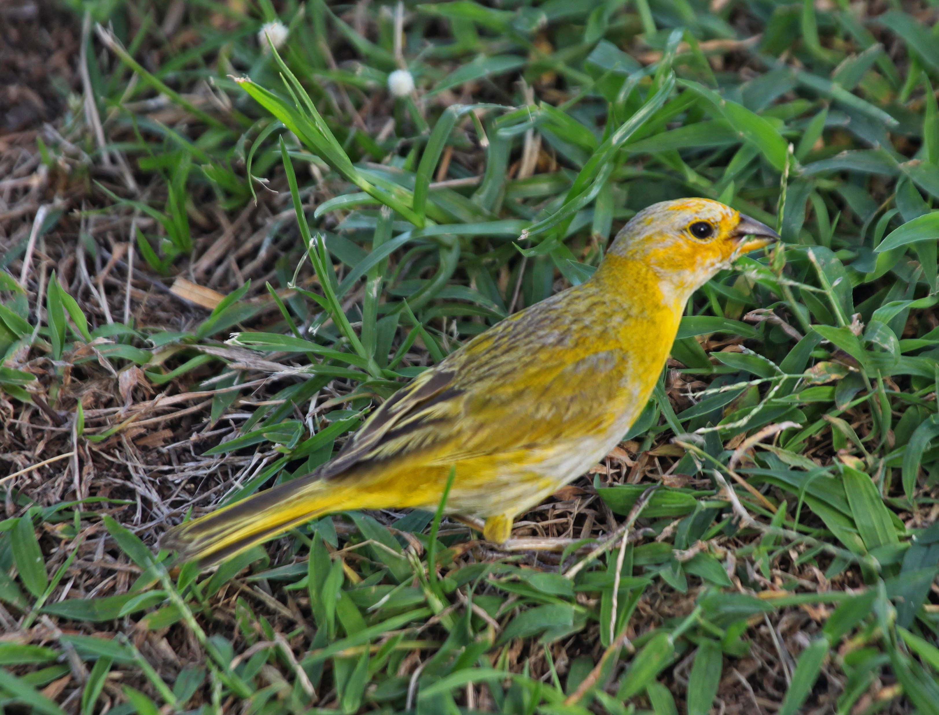 Image result for saffron finch