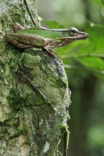 Poison Rock Frog, <i>Odorrana hossi</i> IMG_6664pped copy