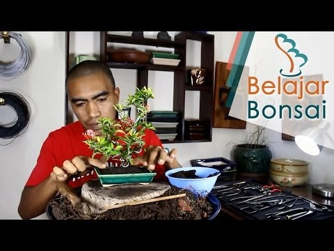 Isnaini Dot Com Cara Membuat Bonsai Bunga Asoka Ixora Coccinea