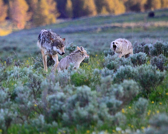 IMG_9148 Coyotes and Wolf