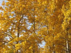 oregon trees2