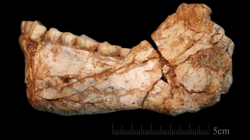 This is the first, almost complete adult mandible discovered at the Jebel Irhoud site. The shape of the bone and the teeth clearly assign it to the root of our own lineage, the study authors say.