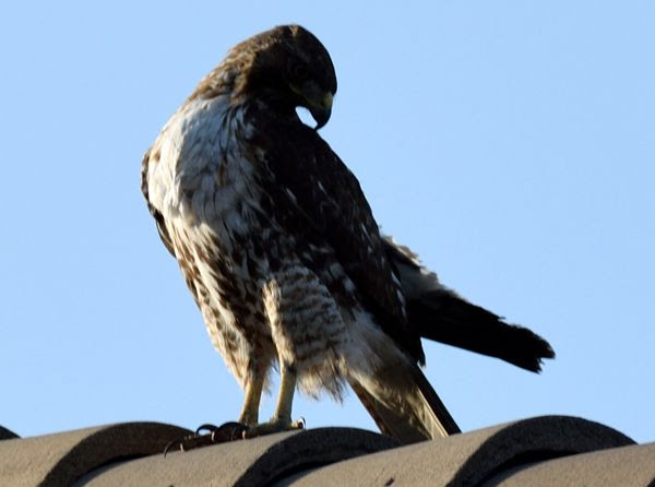 Another snapshot of a hawk perched atop the roof of my neighbor's house...on April 28, 2018.