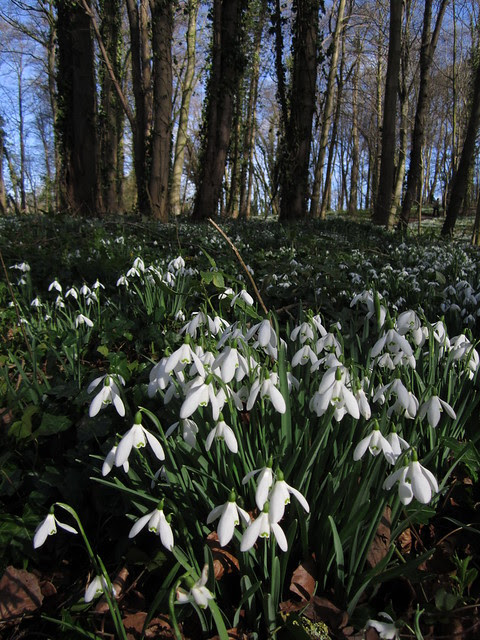 snowdrop walk Walsingham Feb 2014 (17)