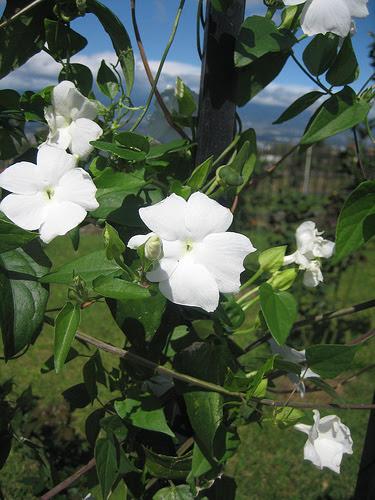 Enredadera De Flores Blancas