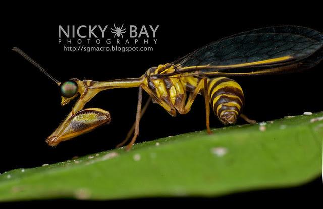 Mantisfly (Mantispidae) - DSC_9656