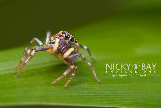 Jumping Spider (Salticidae) - DSC_8089