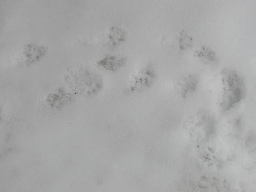 Squirrel Prints in Snow
