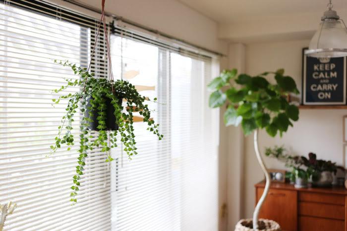 ディスキディア・ルスキフォリア / Dischidia ruscifolia