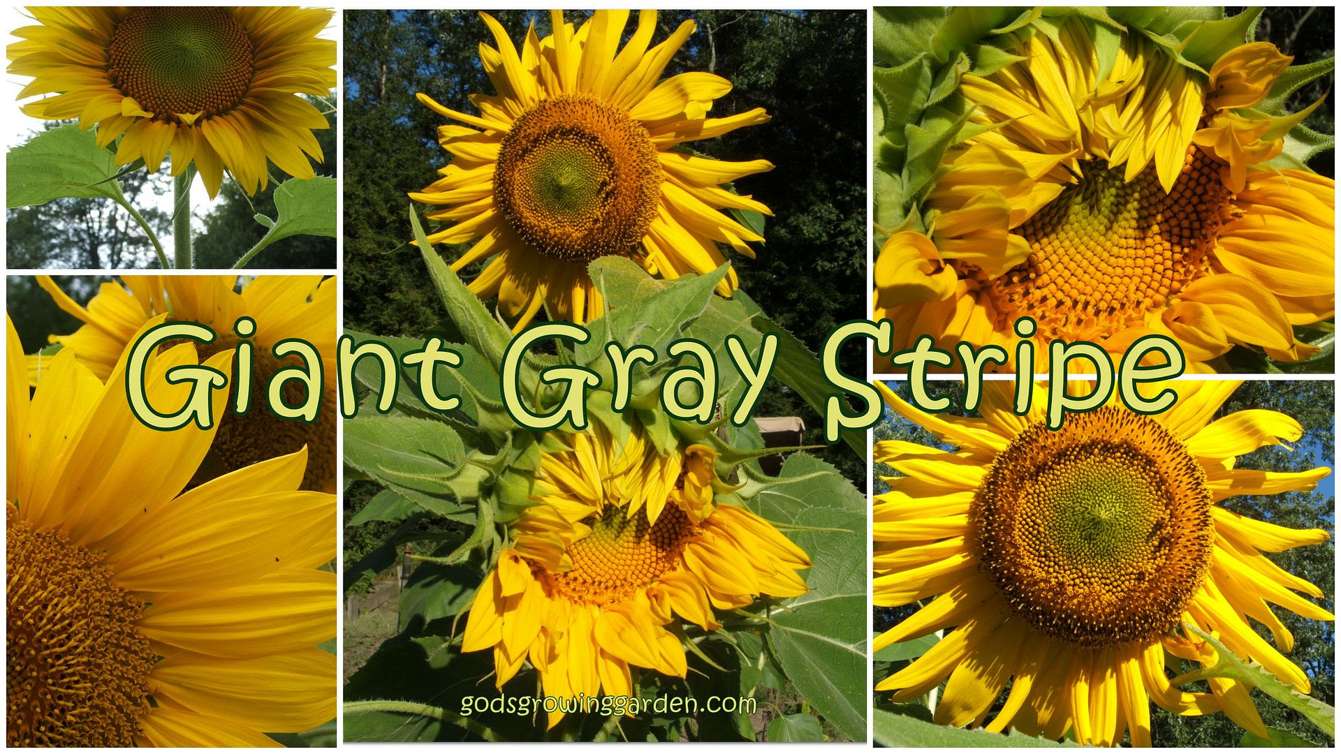 sunflowers by Angie Ouellette-Tower for godsgrowinggarden.com photo 2013-09-01_zpse1f84b06.jpg