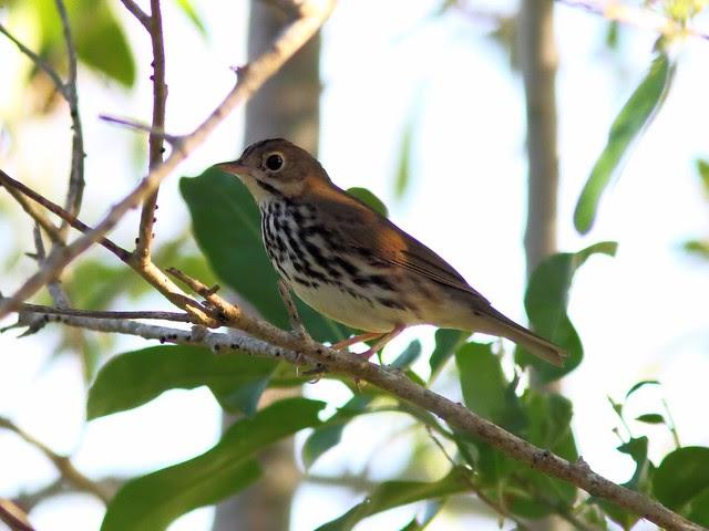 Ovenbird 2-20130919