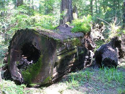 Ancient nurse log