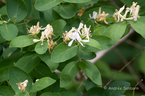 Tartarian Honeysuckle (Bush honeysuckle) (Lonicera tatarica L.)-4.jpg