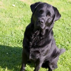 Buck  Labrador retriever: ταξίδεψε 800 χιλιόμετρα για να βρει  τον ιδιοκτήτη του