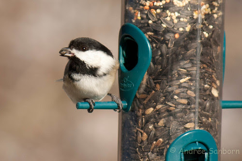 Black-capped chickadee  (23 of 23).jpg