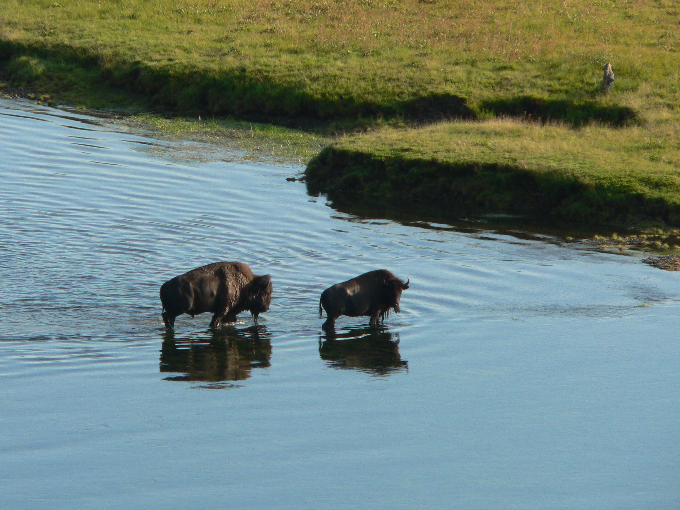 http://upload.wikimedia.org/wikipedia/commons/9/9e/Bison_crossing_a_river.jpg