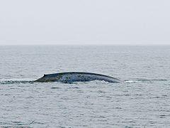Blue Whale (Balaenoptera musculus) Mysticeti baleen whale