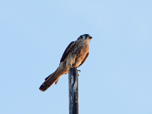 Cathedral Kestrel 3