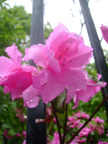 pink flower 004
