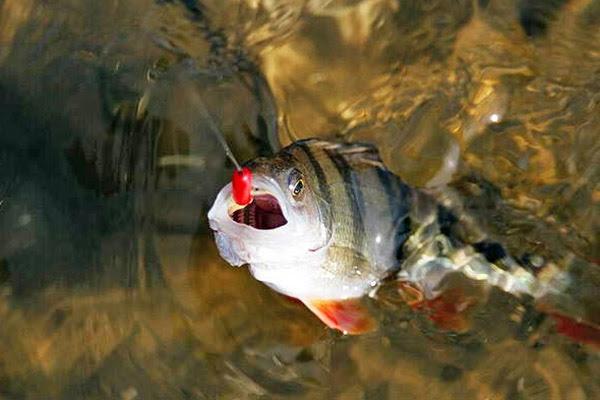 Рыбалка в августе, ловля в августе, рыбалка в августе на спиннинг, рыбалка в августе на донку, рыбалка в августе на сома, рыбалка в августе на щуку, рыбалка в августе на окуня, рыбалка в августе на сазана, какую рыбу ловить в августе, как ловить рыбу в августе, на что ловить рыбу в августе