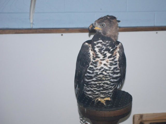 DSC_5364 Crowned Eagle
