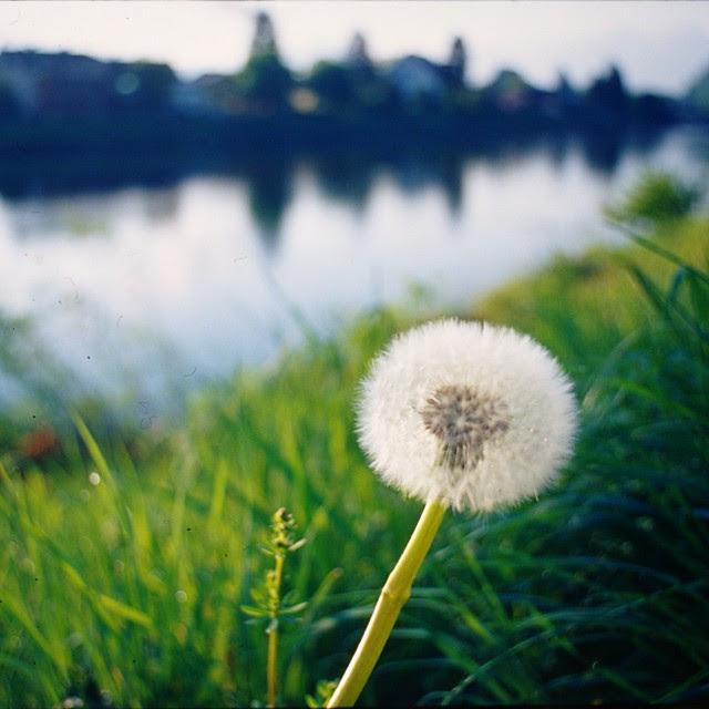 dandelion (1:1)