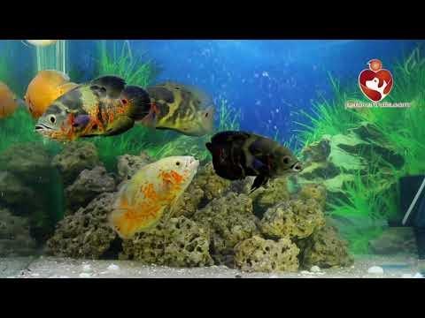 oscar fish || petloverindia.com || Fish Paradise.