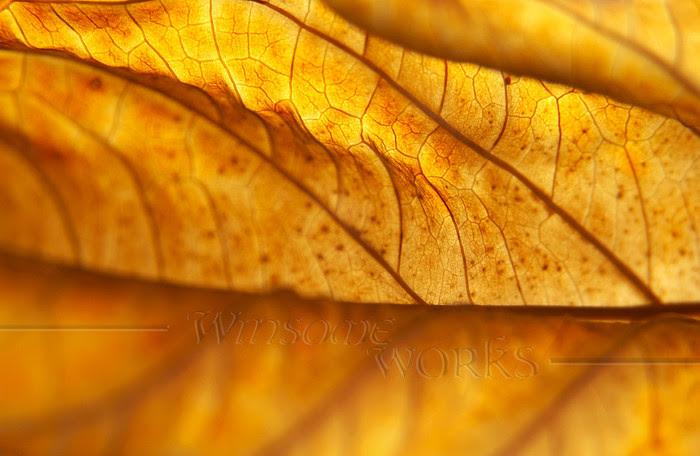 Liminality: Dead Hydrangea macrophylla Leaf, Back-lit