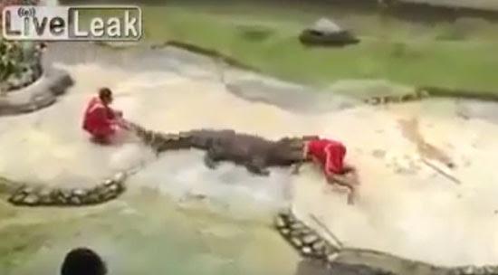 Crocodilo mastigando a cabeça de um treinador
